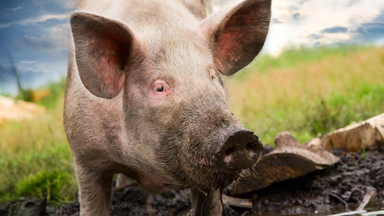 Собственик на прасета нападна служител на БАБХ