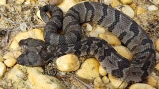 В САЩ откриха гърмяща змия с две глави
