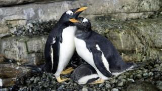 Двойката женски пингвини, които си осиновиха яйце