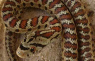 Нашествие на змии в Родопите