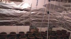 Откриха оранжерия  за канабис в Самоковско
