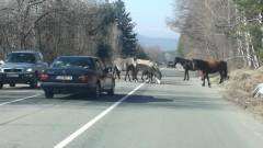 Стадо коне блокира подбалканския път София-Бургас