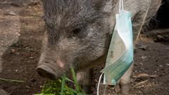 24 500 животни ще бъдат умъртвени в Шуменско заради африканската чума