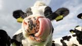 Проблемът на Индия с кравите придобива сериозни икономически и политически измерения
