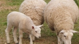 Ветеринари проверяват закланите агнета във фермите