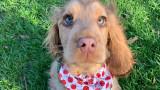 Winnie_thecocker - кучето, по което всички полудяха в Instagram