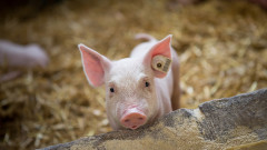 След 1 септември изплащат обезщетенията за доброволно заклани прасета