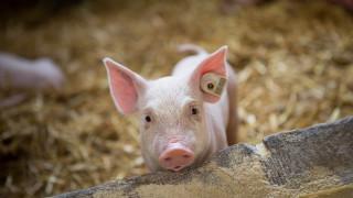 Изтича срокът за умъртвяване на прасетата в Южна България