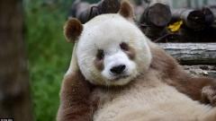 Панди под наем