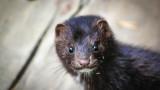 Коронавирусът, фермите за норки и защо в Дания избиват милиони животни