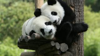 Пандите, които се отказаха от месото