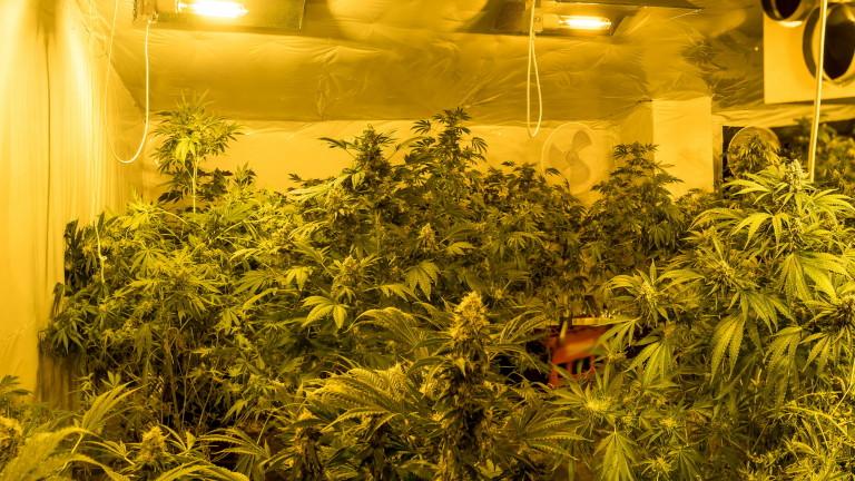 Полицията откри над килограм марихуана и 70 саксии