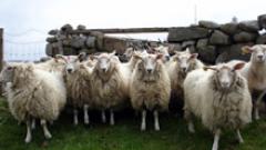 Глутница вълци избива овцете в Рудеземско