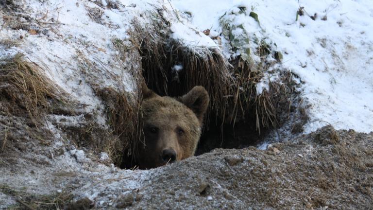 Най-младото мече в Парка за танцуващи мечки за пръв път спи зимен сън