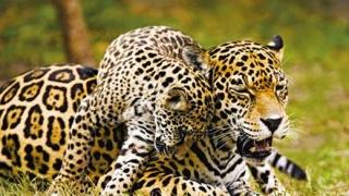 Пътят на ягуара
