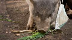 240 огнища на африканска чума по свинете в окръг Гюргево