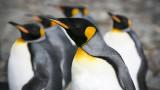 Кралските пингвини, екскрементите им и ефектът, който имат върху човека