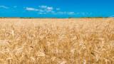 Над 4.6 млн. тона е произведената пшеница за 2020 г. у нас