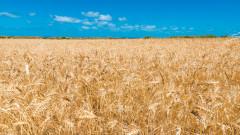 Най-големият износител на пшеница в света спира износа