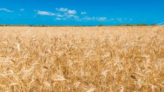 Австралийската пшеница е най-скъпата в света. Ето защо