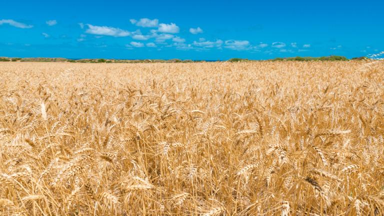 Прогнозират 10% по-голяма реколта от пшеница в ЕС
