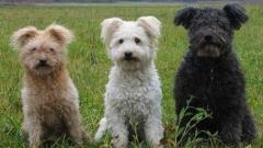 Признаха официално 190-ата порода кучета – пуми