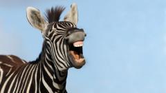 Какво става, когато се чифтосат зебра и магаре