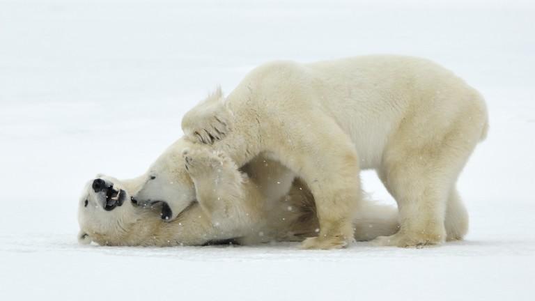 Защо полярните мечки започнаха да се самоизяждат