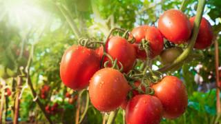 Офицер от НСО пратил убийците с бялата роза, Гръцката салата на морето с БГ домати