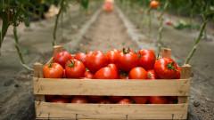 С 40% намаляват площите, на които се отглеждат домати