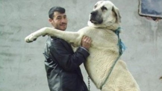 Нашенец насъска 100-килограмовото си куче срещу полицаи