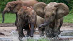 Слоновете в Африка са застрашени от изчезване