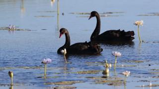"""Откриха изчезналите черни лебеди от благоевградския парк """"Бачиново"""""""