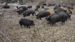 Положителни проби на чума по свинете в три ферми в Шуменско