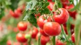 ДФЗ провери доматите и краставиците на 7500 земеделци