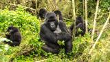 Общото между приятелствата при хората и горилите