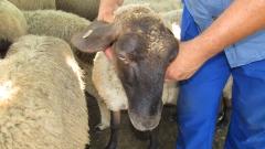 Животновъдите в Ямболско продължават да търпят загуби заради чумата