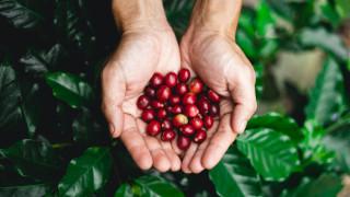 Цените на кафето ще се покачат до края на 2020-а, въпреки по-големия излишък