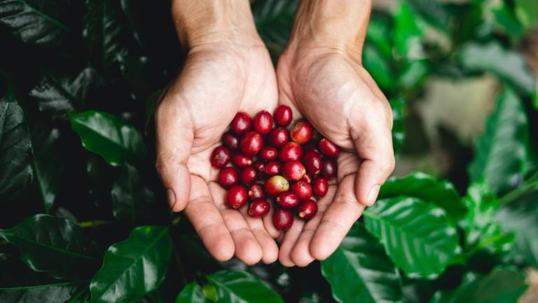 Цените на кафето, както за фючърсите на арабика, така и