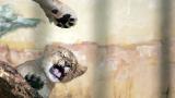 Община Разград продава три малки лъвчета