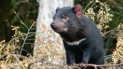 Ще успее ли тасманийският дявол да се спаси от изчезване