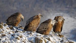 Все повече белоглави лешояди гнездят в Източните Родопи