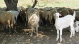 Откриха чума по овцете в Ямболско
