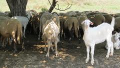 В село Кости са евтаназирани около 400 овце и кози