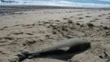 55 мъртви делфина изхвърли морето в Румъния