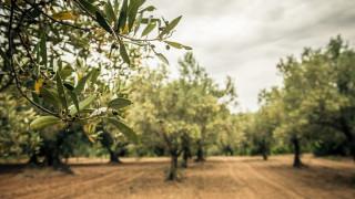 Климатичните промени могат да принудят Италия да внася маслини