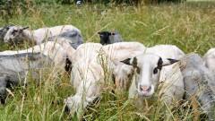 Влак помете стадо овце в Германия, уби 45 животни