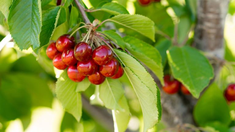 Проверяват за пестициди черешите в Кюстендилско