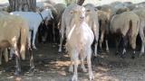 Експерти от ЕК идват в България заради чумата по животните