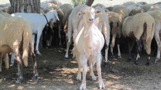 Изплатиха над милион помощи de minimis на засегнатите от чумата животновъди